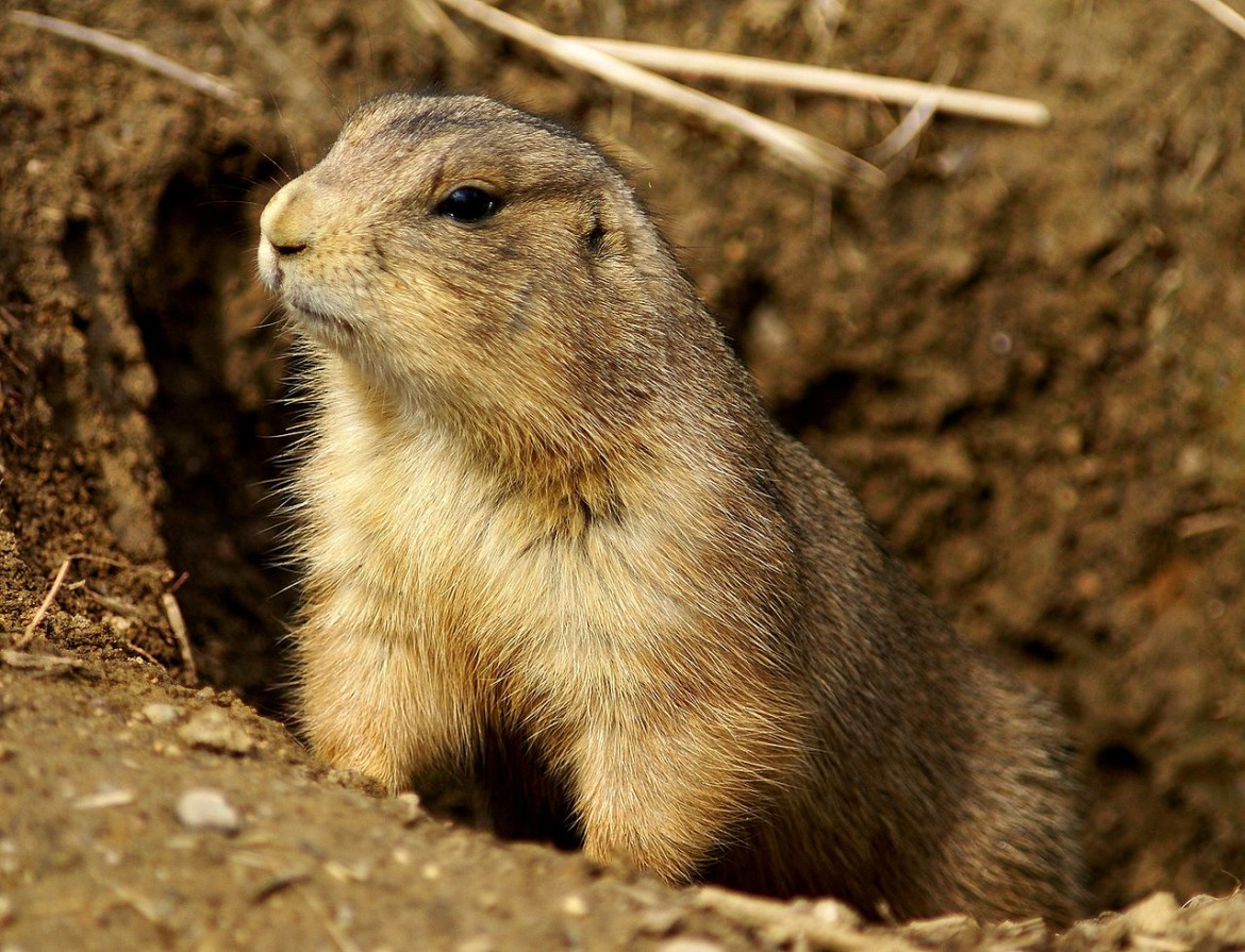 1280px-Prairie_Dog_Washington_DC_1